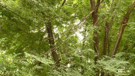 Деревья-великаны на улице Кулибина угрожают безопасности людей