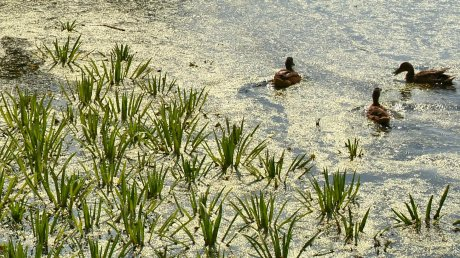 В озере Рогатка в Пензе вместо людей теперь плавают утки